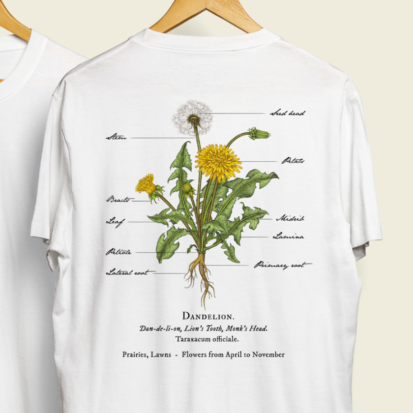 轻插画设计-蒲公英植物插图设计